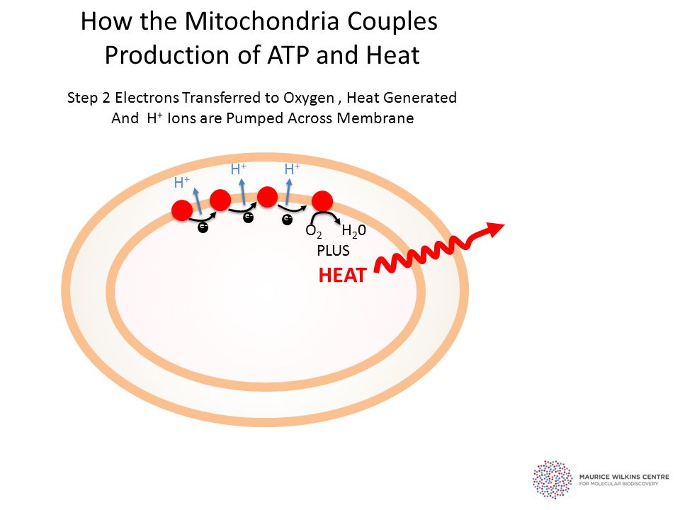 e- Step 2 Electrons Transferred to Oxygen, Heat Generated And H + Ions are Pumped Across Membrane e- H+H+ H+H+ H+H+ O 2 H 2 0 PLUS HEAT How the Mitochondria Couples Production of ATP and Heat