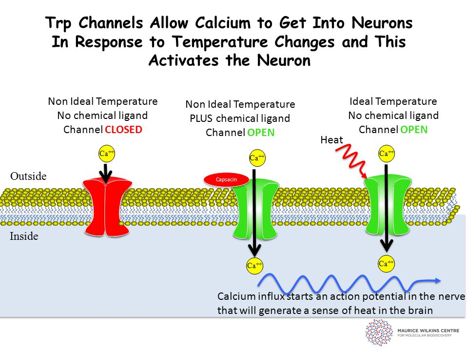 Trp Channels Allow Calcium to Get Into Neurons In Response to Temperature Changes and This Activates the Neuron Outside Inside Ca ++ Non Ideal Temperature No chemical ligand Channel CLOSED Capsacin Non Ideal Temperature PLUS chemical ligand Channel OPEN Ideal Temperature No chemical ligand Channel OPEN Ca ++ Heat Calcium influx starts an action potential in the nerve that will generate a sense of heat in the brain