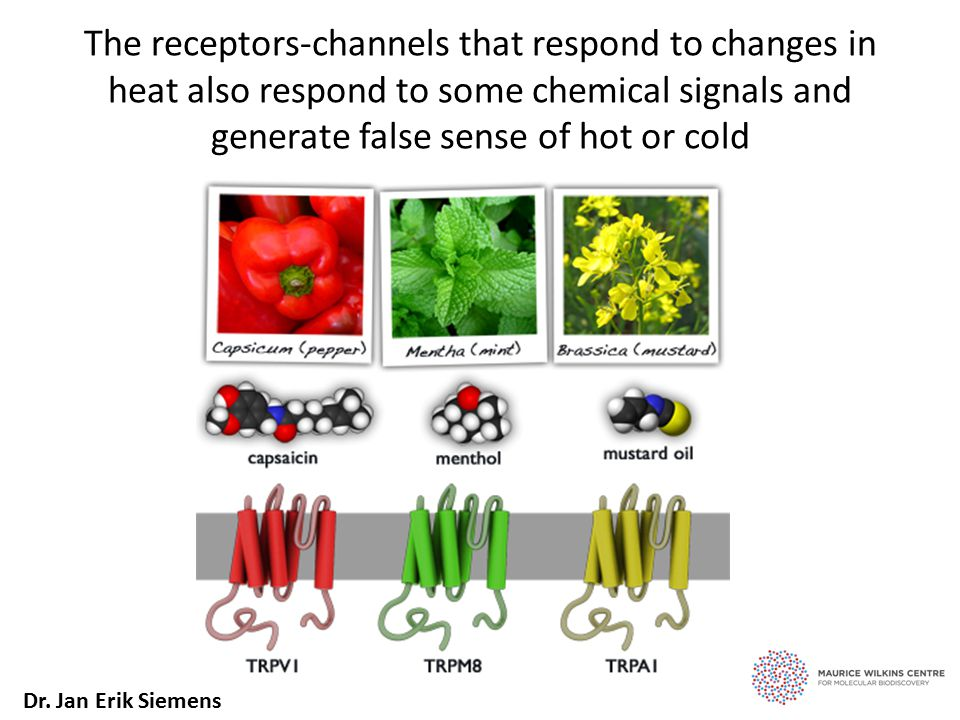 The receptors-channels that respond to changes in heat also respond to some chemical signals and generate false sense of hot or cold Dr.
