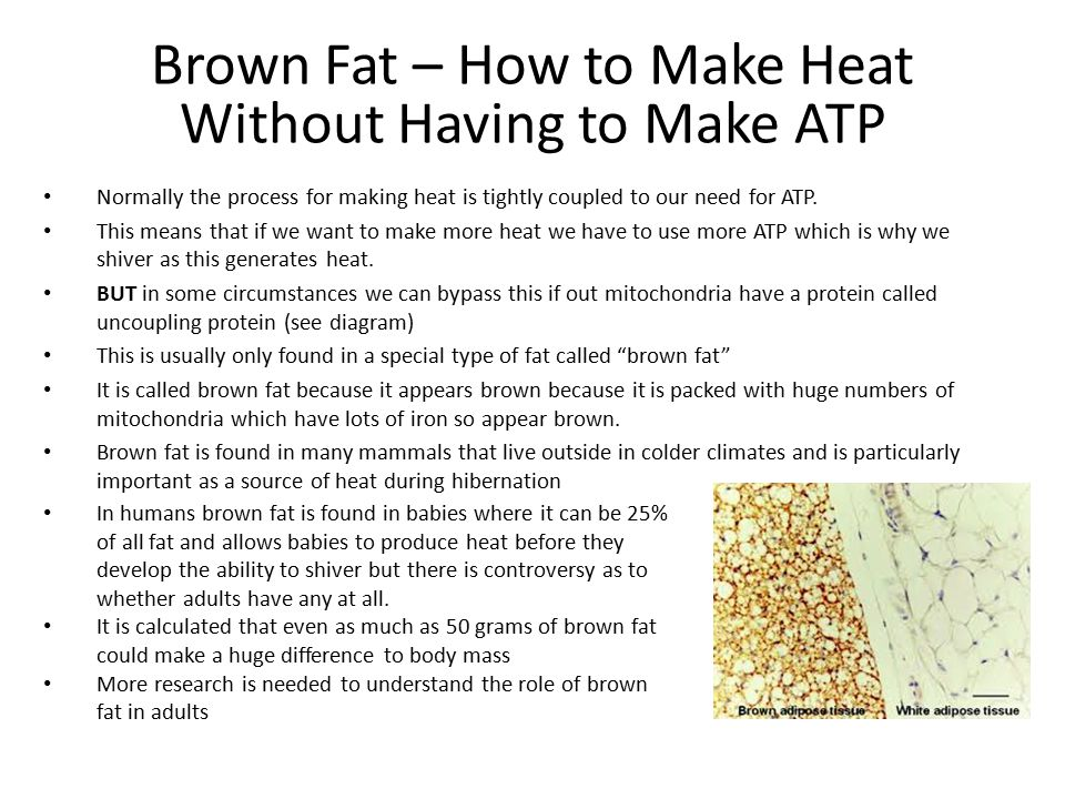 Brown Fat – How to Make Heat Without Having to Make ATP Normally the process for making heat is tightly coupled to our need for ATP.