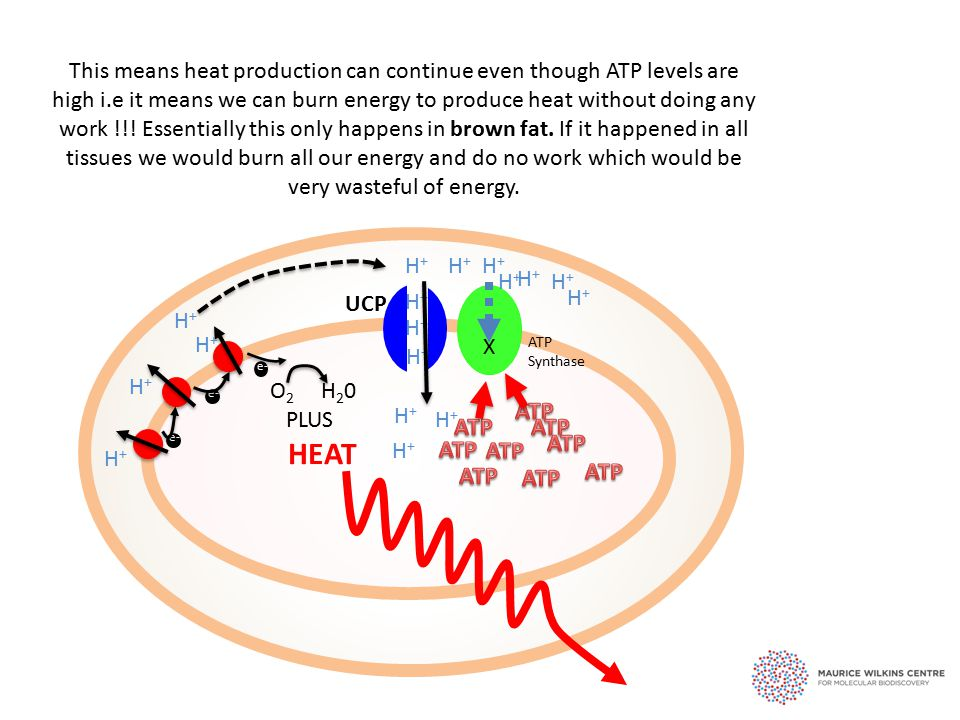 e- This means heat production can continue even though ATP levels are high i.e it means we can burn energy to produce heat without doing any work !!.