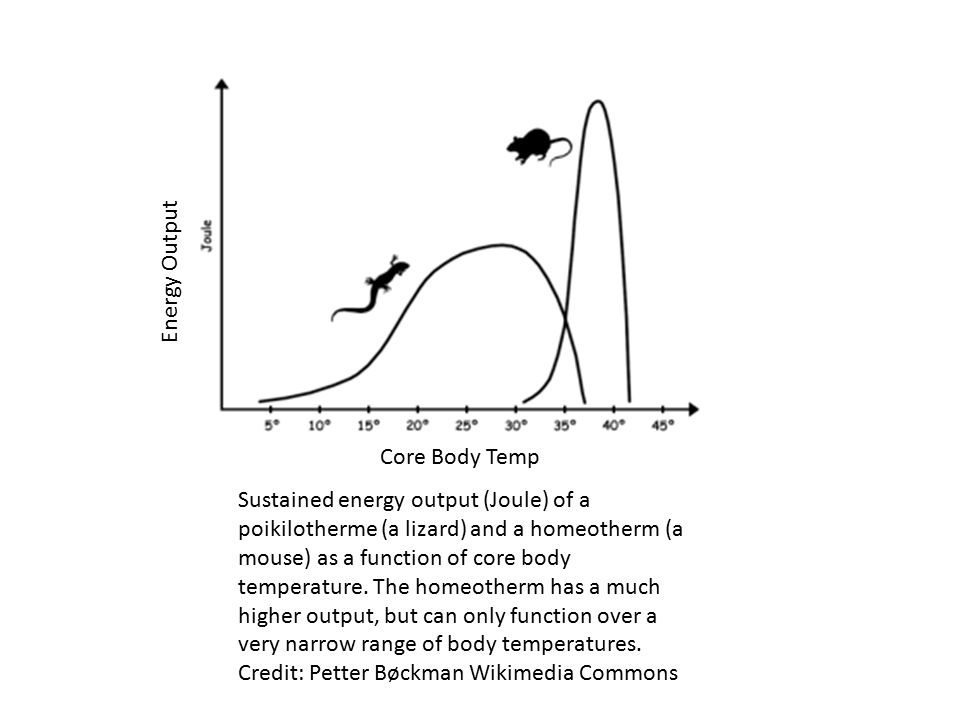 Sustained energy output (Joule) of a poikilotherme (a lizard) and a homeotherm (a mouse) as a function of core body temperature.