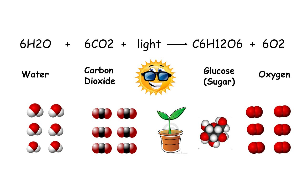 6H2O + 6CO2 + light C6H12O6 + 6O2 Water Carbon Dioxide Glucose (Sugar) Oxygen