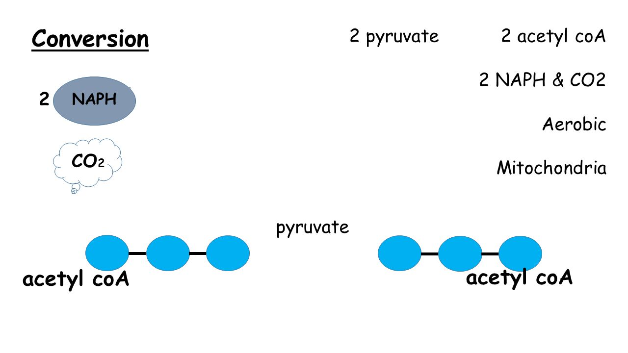 Conversion 2 pyruvate 2 acetyl coA 2 NAPH & CO2 Aerobic Mitochondria pyruvate acetyl coA NAPH 2 CO 2