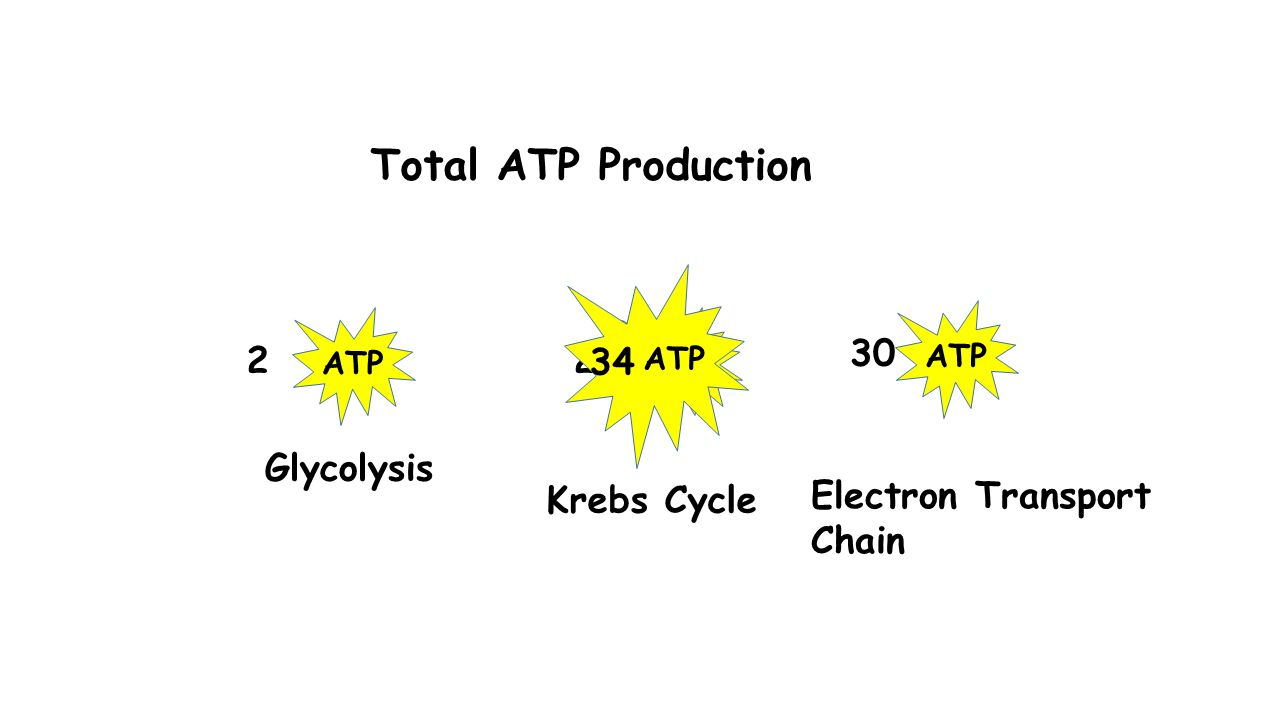 Total ATP Production ATP 2 2 30 ATP 34 Glycolysis Krebs Cycle Electron Transport Chain