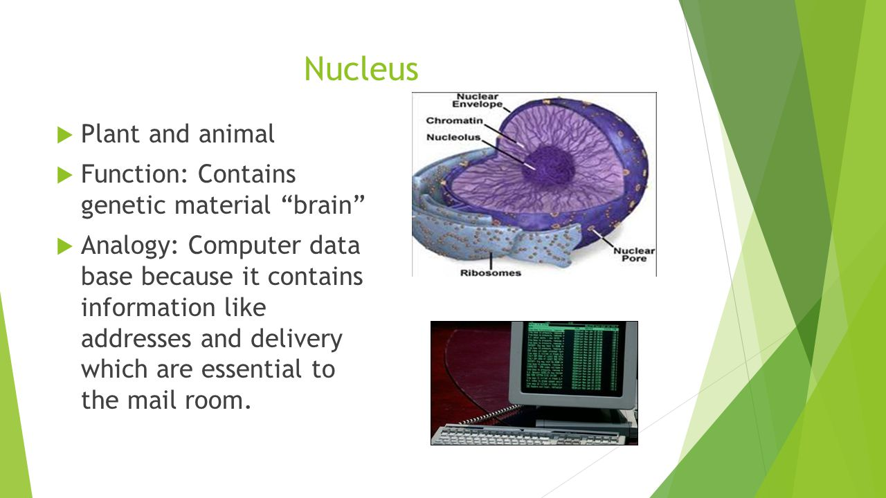 Nucleus  Plant and animal  Function: Contains genetic material brain  Analogy: Computer data base because it contains information like addresses and delivery which are essential to the mail room.