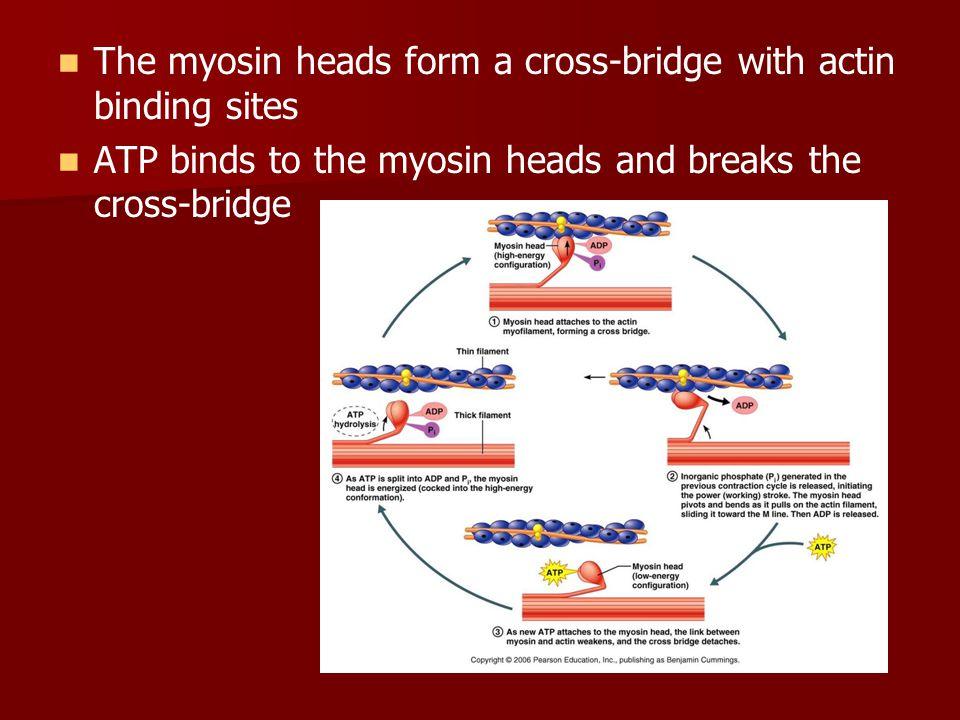The myosin heads form a cross-bridge with actin binding sites ATP binds to the myosin heads and breaks the cross-bridge