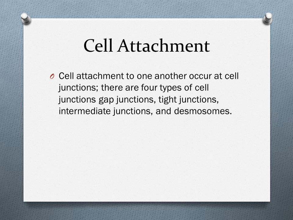 Cell Attachment O Cell attachment to one another occur at cell junctions; there are four types of cell junctions gap junctions, tight junctions, intermediate junctions, and desmosomes.