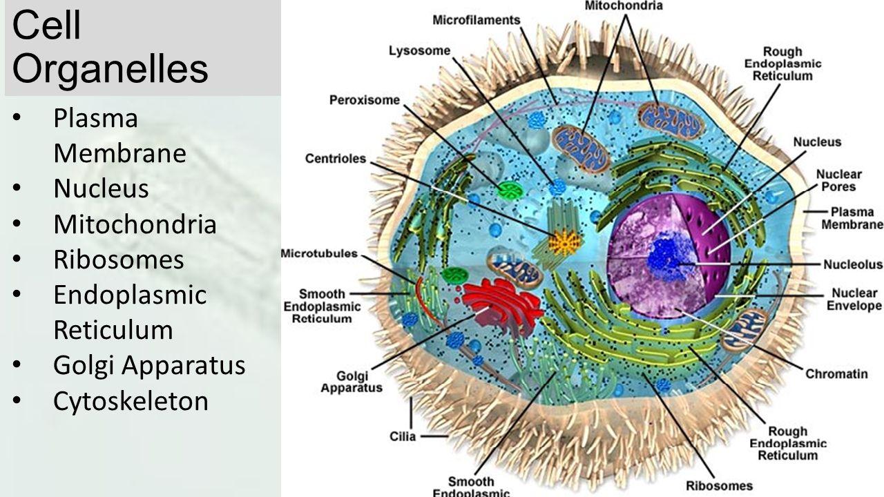 Cell Organelles Plasma Membrane Nucleus Mitochondria Ribosomes Endoplasmic Reticulum Golgi Apparatus Cytoskeleton
