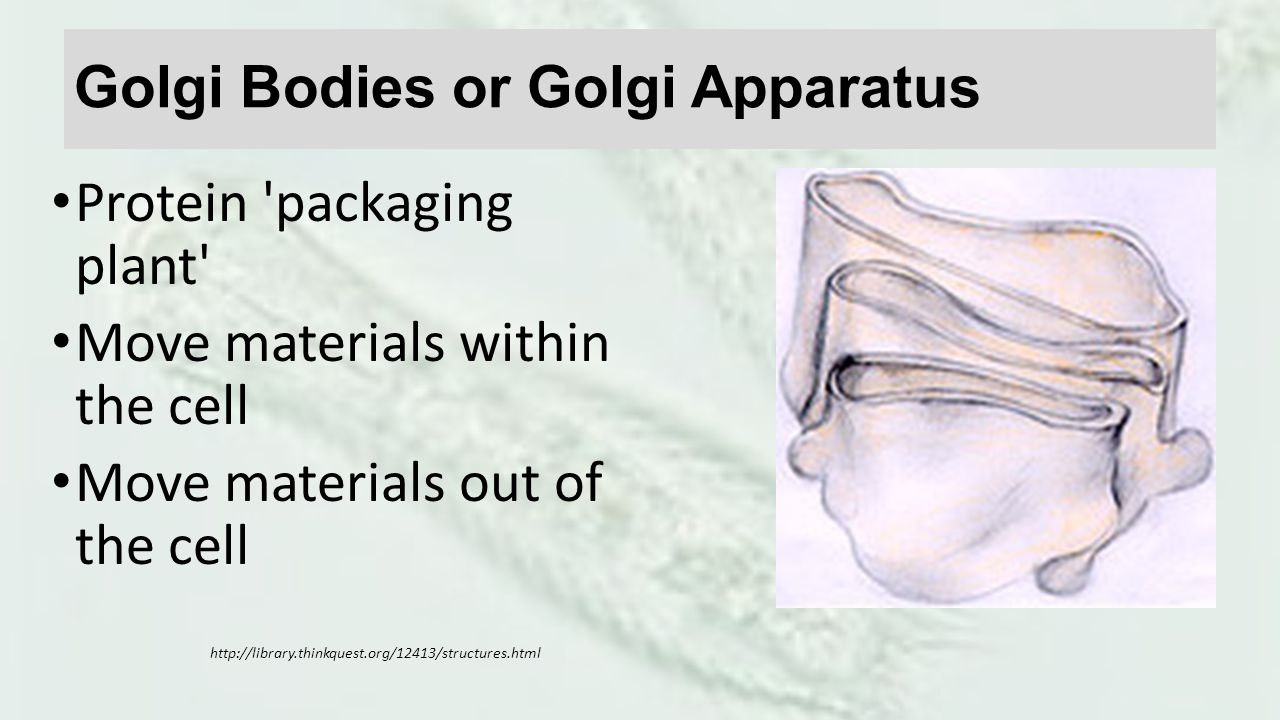 Golgi Bodies or Golgi Apparatus Protein packaging plant Move materials within the cell Move materials out of the cell http://library.thinkquest.org/12413/structures.html