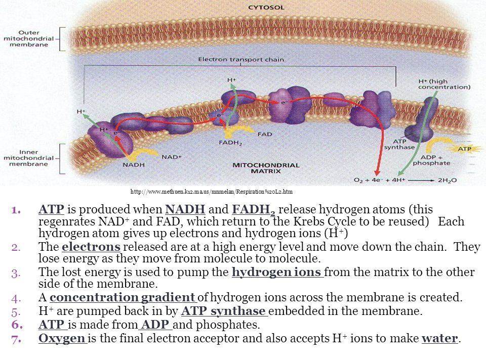 1.ATP is produced when NADH and FADH 2 release hydrogen atoms (this regenrates NAD + and FAD, which return to the Krebs Cycle to be reused) Each hydrogen atom gives up electrons and hydrogen ions (H + ) 2.The electrons released are at a high energy level and move down the chain.