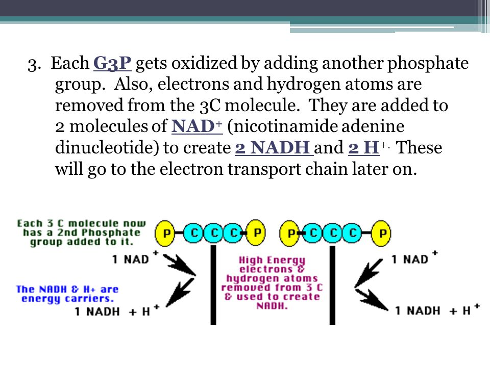 3. Each G3P gets oxidized by adding another phosphate group. Also, electrons and hydrogen atoms are removed from the 3C molecule. They are added to 2