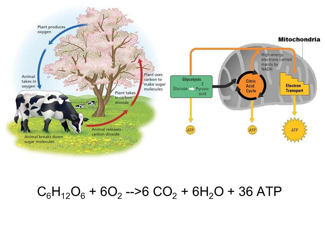 C 6 H 12 O 6 + 6O 2 -->6 CO 2 + 6H 2 O + 36 ATP