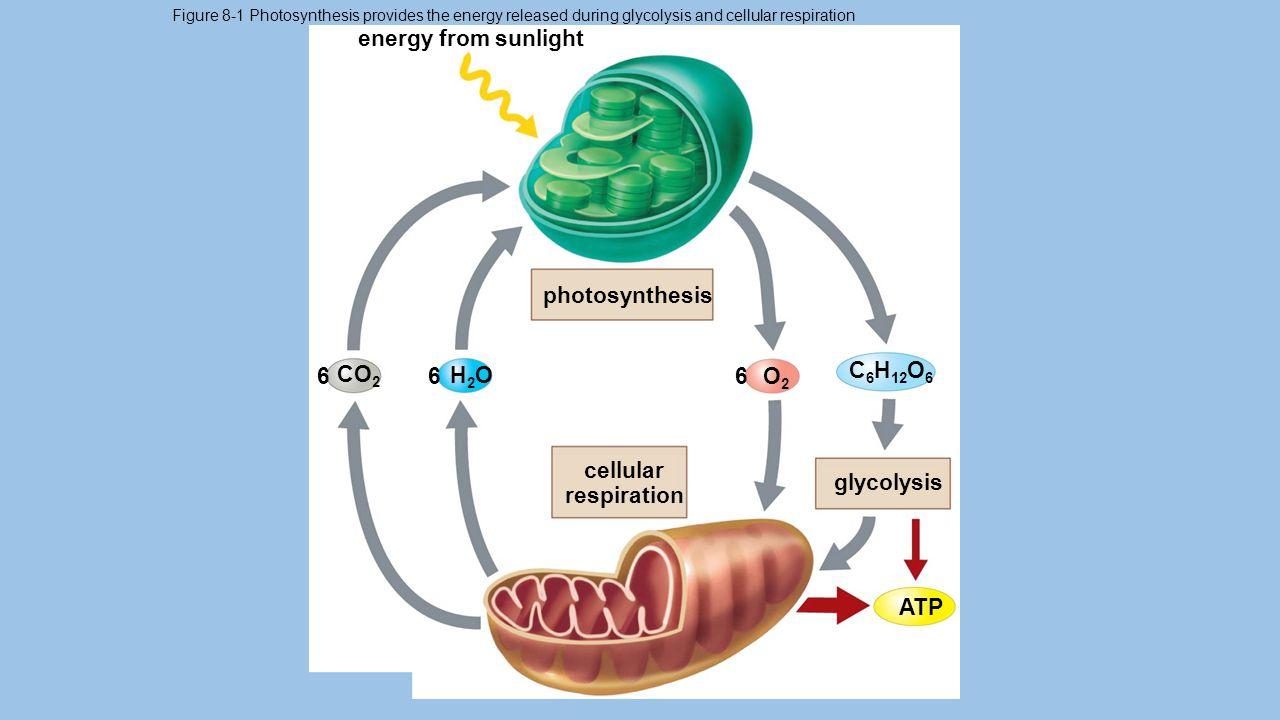 8.1: How Do Cells Obtain Energy.