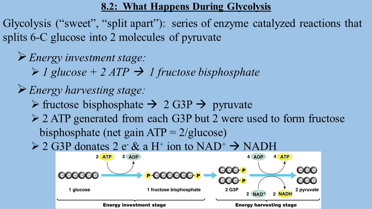Cellular Respiration Can Extract Energy from a Variety of Molecules Glucose  sucrose, starch, protein & fat can enter CR stages and be broken down to produce ATP ATP  not used for long term storage b/c it becomes unstable Fats  stable and store 2X as much energy for their weight as carbs Candy bar (sucrose)  glucose + fructose (metabolized in liver)  G3P  If cells have plenty of ATP some G3P diverted from CR to make glycerol.
