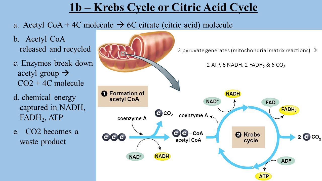 Krebs Cycle or Citric Acid Cycle https://www.youtube.com/watch?v= JPCs5pn7UNIhttps://www.youtube.com/watch?v= JPCs5pn7UNI - Krebs Song