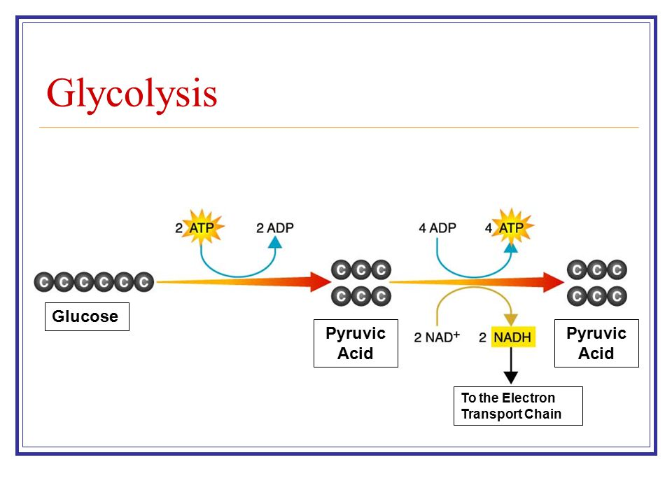 Glycolysis Glucose Pyruvic Acid To the Electron Transport Chain
