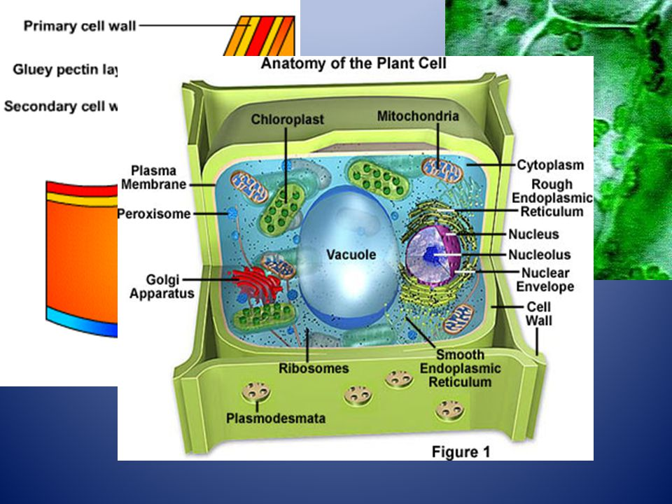 A cell wall supports and Protects the cell and allows Plant cells to be stacked On top of each other.