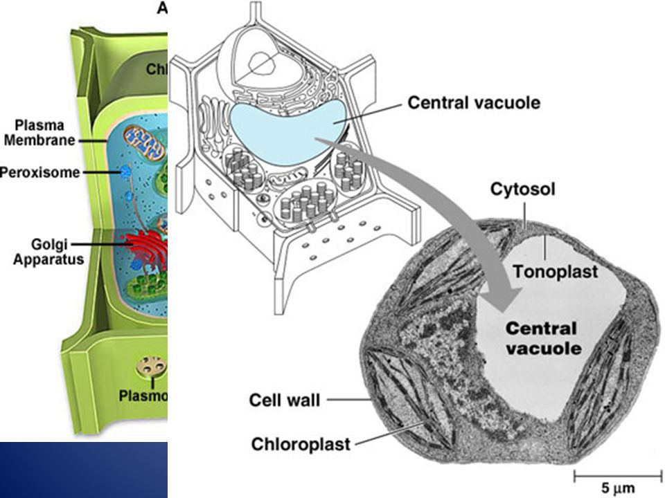 The central vacuole is a large Membrane bound space that Stores water and many Substances including ions, Nutrients and wastes.