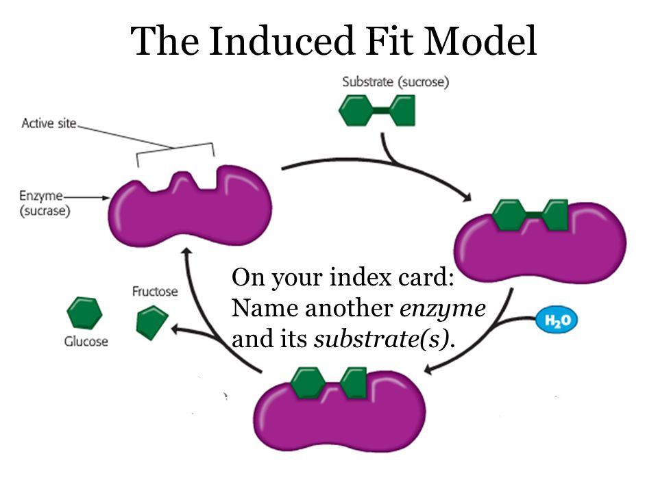 The Induced Fit Model On your index card: Name another enzyme and its substrate(s).