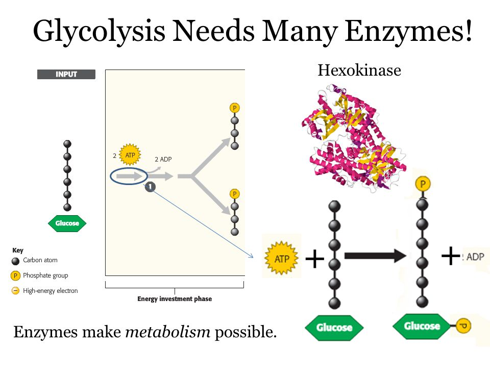 Glycolysis Needs Many Enzymes! Hexokinase Enzymes make metabolism possible.