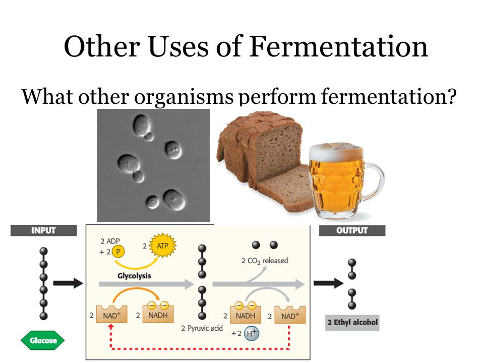 Other Uses of Fermentation What other organisms perform fermentation