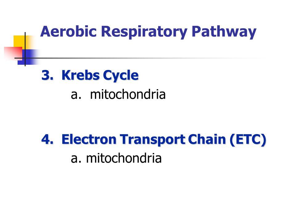 Aerobic Respiratory Pathway 3. Krebs Cycle a. mitochondria 4.
