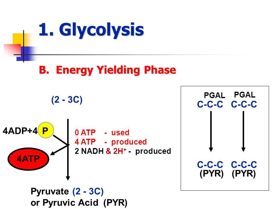 1. Glycolysis B.
