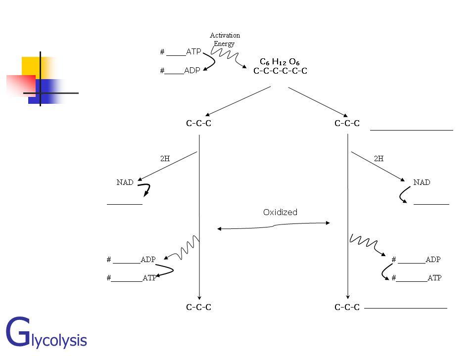 G lycolysis