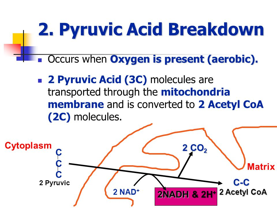 2. Pyruvic Acid Breakdown Oxygen is present (aerobic).