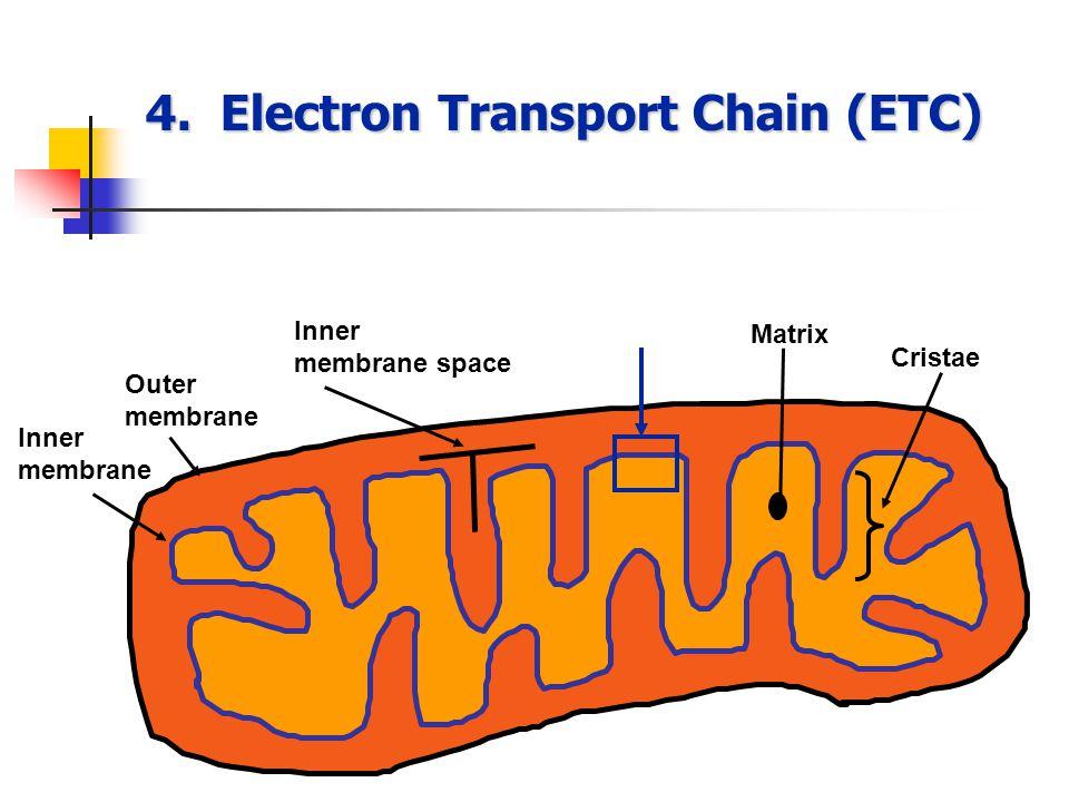 4. Electron Transport Chain (ETC) Inner membrane Outer membrane Inner membrane space Matrix Cristae