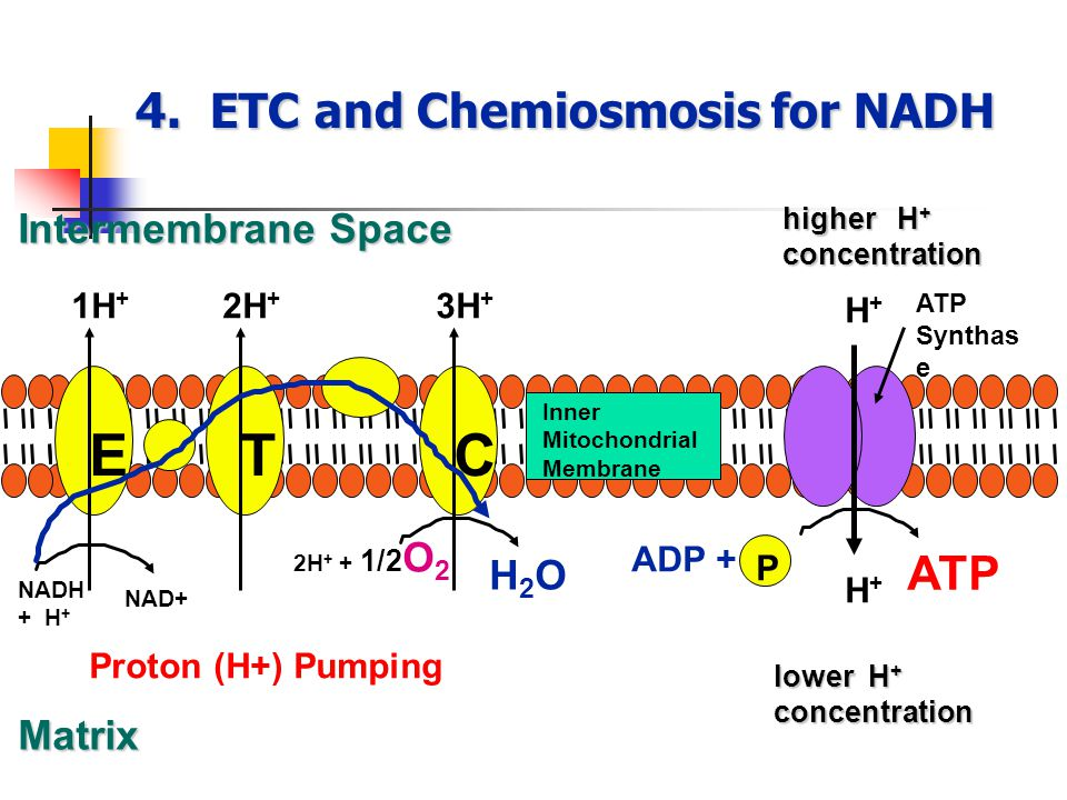 4. ETC and Chemiosmosis for NADH