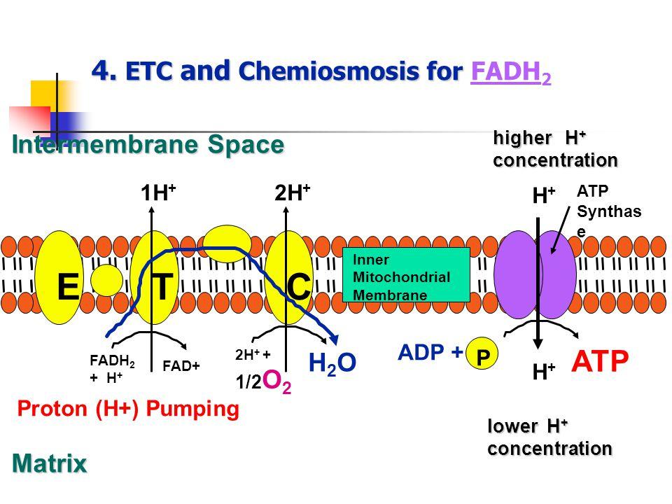 4. ETC and Chemiosmosis for 4. ETC and Chemiosmosis for FADH 2