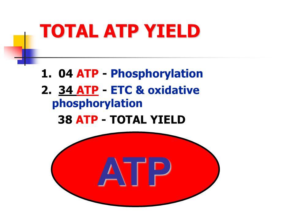 TOTAL ATP YIELD 1.04 ATP - Phosphorylation 2.