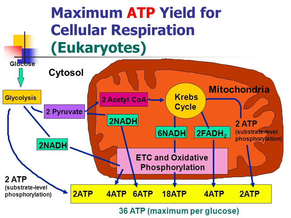 Maximum ATP Yield for Cellular Respiration (Eukaryotes) 36 ATP (maximum per glucose) Glucose Glycolysis 2ATP 4ATP 6ATP 18ATP 4ATP 2ATP 2 ATP (substrate-level phosphorylation) 2NADH 6NADH Krebs Cycle 2FADH 2 2 ATP (substrate-level phosphorylation) 2 Pyruvate 2 Acetyl CoA ETC and Oxidative Phosphorylation Cytosol Mitochondria