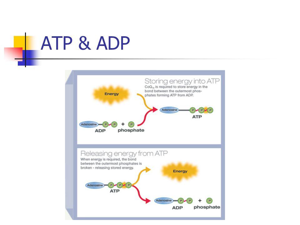 ATP & ADP