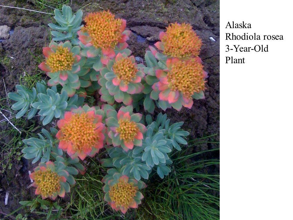 Alaska Rhodiola rosea 3-Year-Old Plant