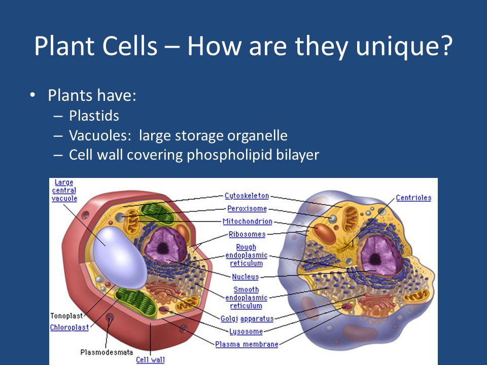 Plant Cells – How are they unique.