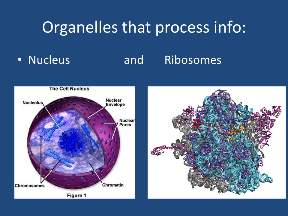 Organelles that process info: Nucleus and Ribosomes