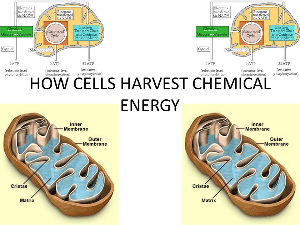 HOW CELLS HARVEST CHEMICAL ENERGY WHAT HAPPENS IF THERE IS NO OXYGEN?.