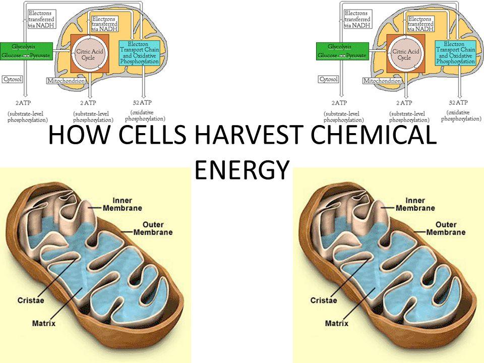 HOW CELLS HARVEST CHEMICAL ENERGY