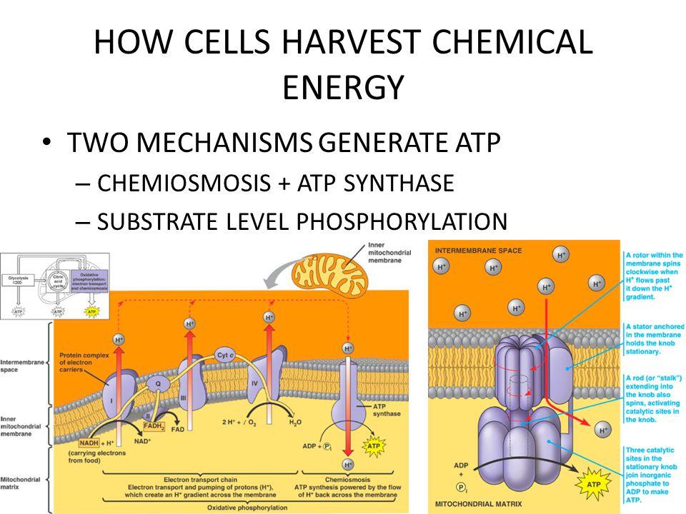 HOW CELLS HARVEST CHEMICAL ENERGY KREBS CYCLE