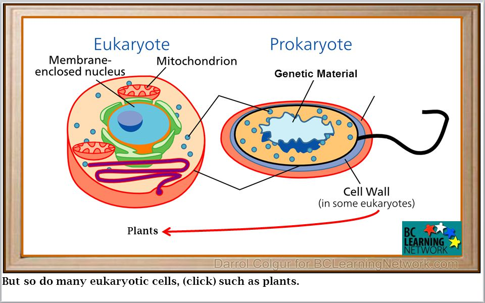 But so do many eukaryotic cells, (click) such as plants. Genetic Material Plants
