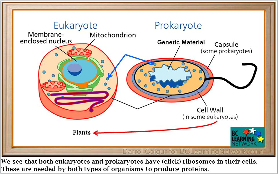 We see that both eukaryotes and prokaryotes have (click) ribosomes in their cells.