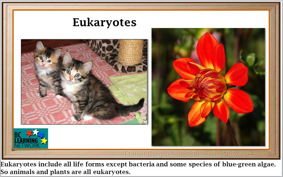 Eukaryotes include all life forms except bacteria and some species of blue-green algae.