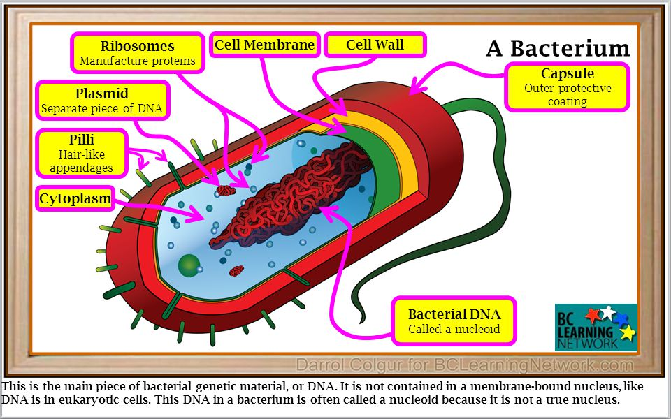 This is the main piece of bacterial genetic material, or DNA.