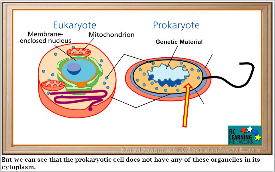 But we can see that the prokaryotic cell does not have any of these organelles in its cytoplasm.