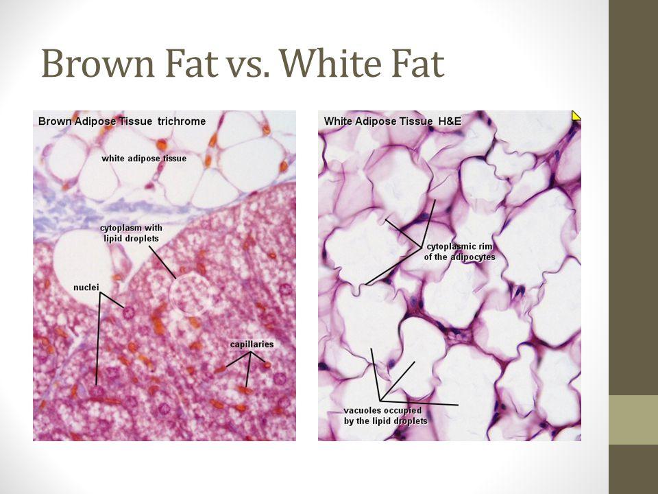 Brown Fat vs. White Fat