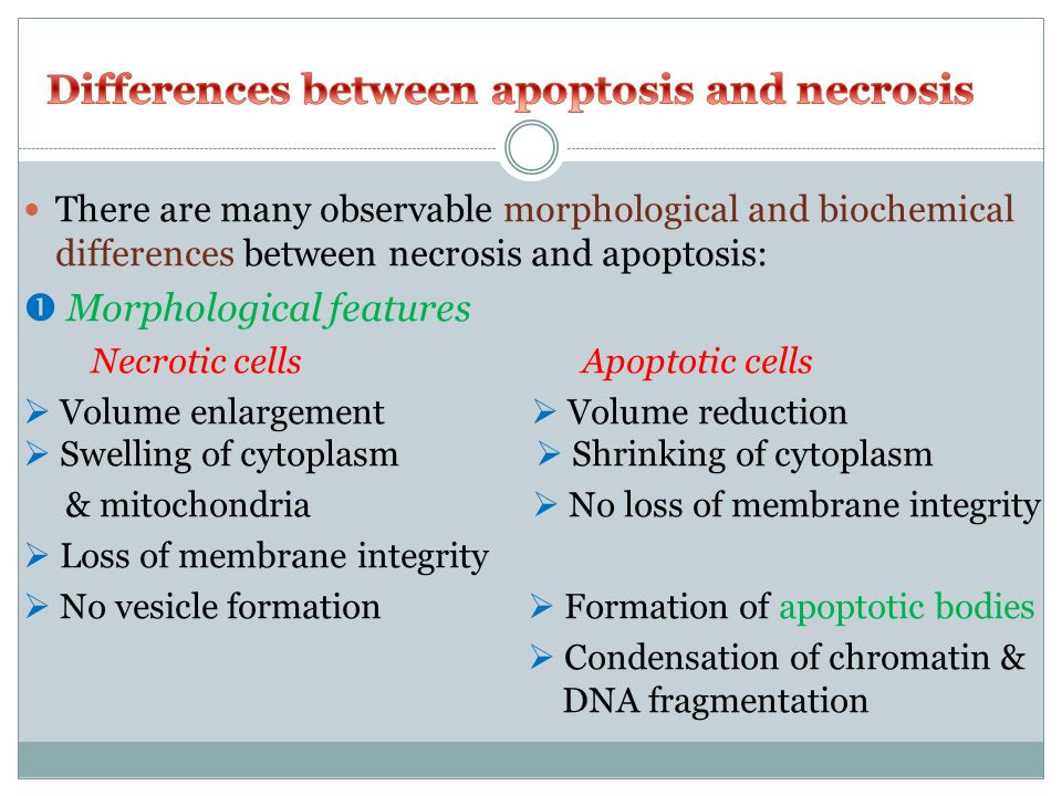 There are many observable morphological and biochemical differences between necrosis and apoptosis:  Morphological features Necrotic cells Apoptotic cells  Volume enlargement  Volume reduction  Swelling of cytoplasm  Shrinking of cytoplasm & mitochondria  No loss of membrane integrity  Loss of membrane integrity  No vesicle formation  Formation of apoptotic bodies  Condensation of chromatin & DNA fragmentation