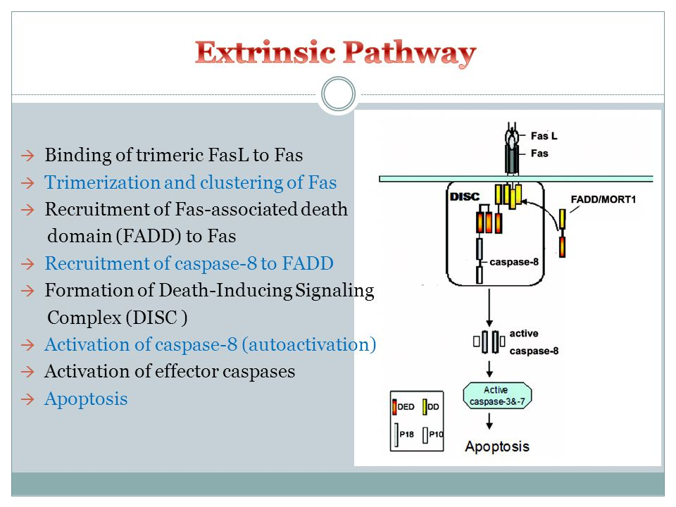  Binding of trimeric FasL to Fas  Trimerization and clustering of Fas  Recruitment of Fas-associated death domain (FADD) to Fas  Recruitment of caspase-8 to FADD  Formation of Death-Inducing Signaling Complex (DISC )  Activation of caspase-8 (autoactivation)  Activation of effector caspases  Apoptosis